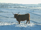 Page 13 Elton Moor Highland Cattle